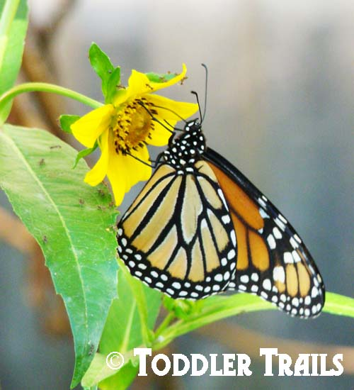 Monarch Butterfly Day