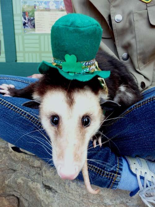 St Patricks Day OC Zoo