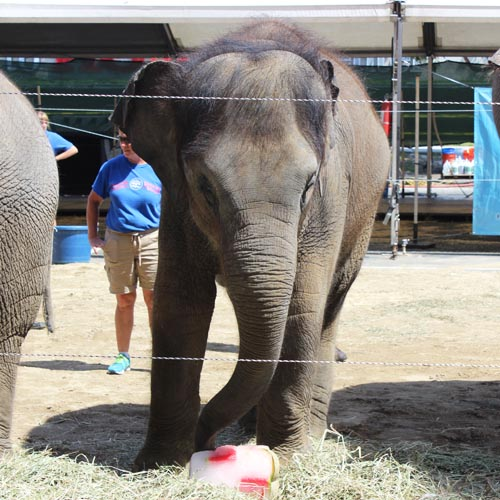 Baby Elephant Popsicle