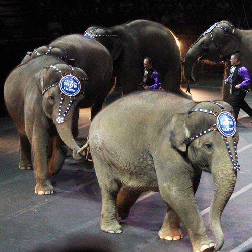 Ringling Elephants