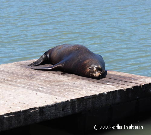 San Francisco Sealion