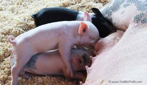 OC Fair Piglets