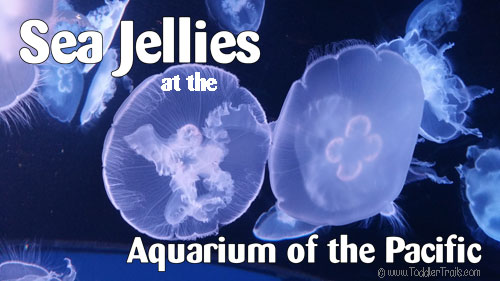 Aquarium of the Pacific, Sea Jellies, Moon Jellies, Jellyfish
