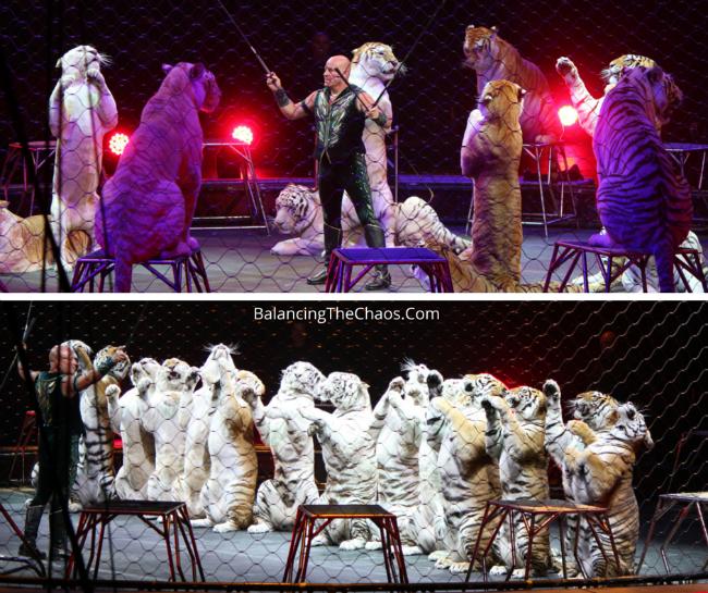 Ringling Bros Barnum & Bailey Tigers
