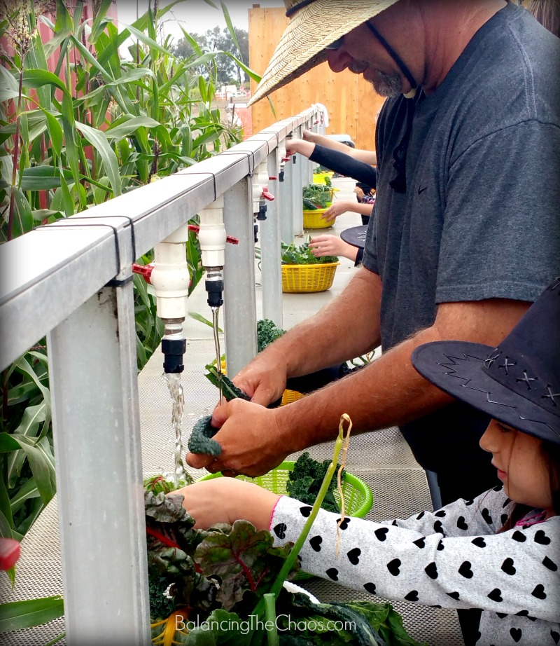 Tanaka Farms Cookout Tour Washing vegetables