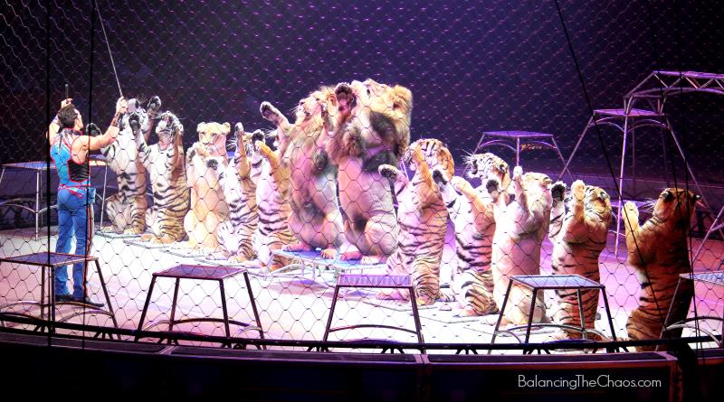 Ringling Bros Tigers