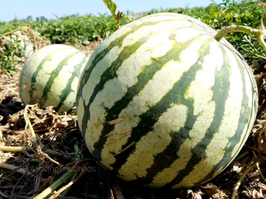 Tanaka Farms Watermelon Picking