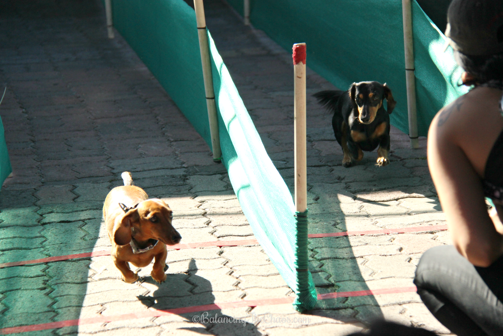 Wiener Dog and Small Breed Races at Oktoberfest at Old World HB