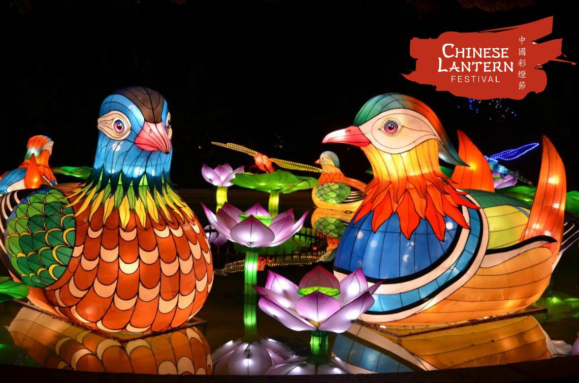 Chinese Lantern Festival Manderin Ducks